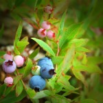 Blueberries01