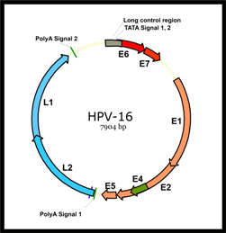 HPV-16_genome_organization