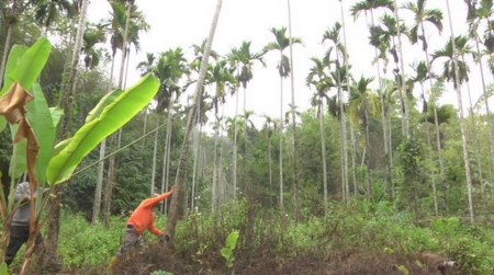 The Taiwanese government is offering subsidies in return for cutting down betel nut palms