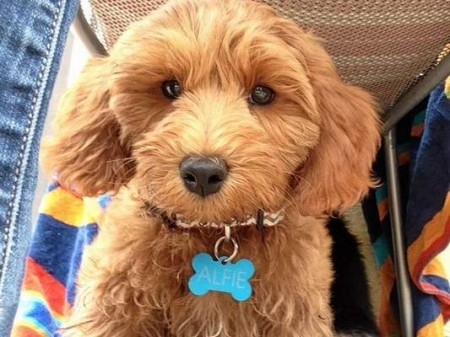 A university team of physicians, veterinarians and animal behaviorists has begun training a pair of very special canines to sniff out cancer. One of the 4-month-old puppies is Alfie, a Labradoodle. months old.